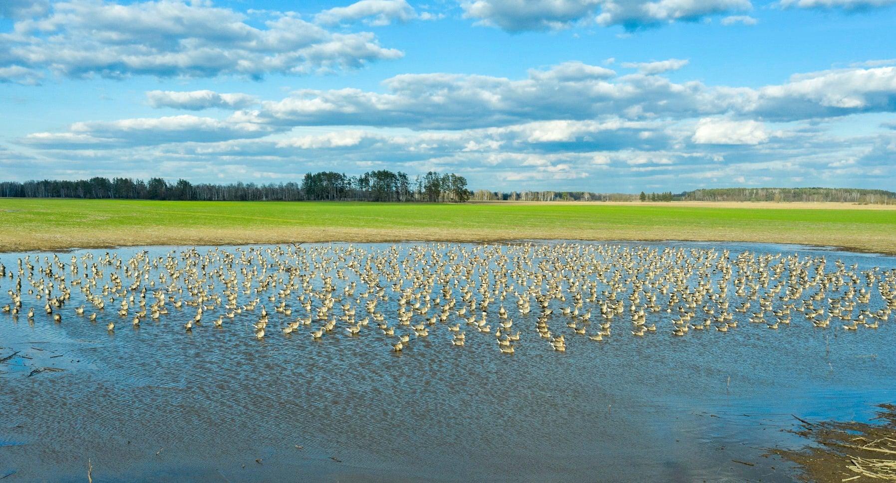 На Чернігівщині зняли унікальні кадри перельоту диких гусей (Фото)