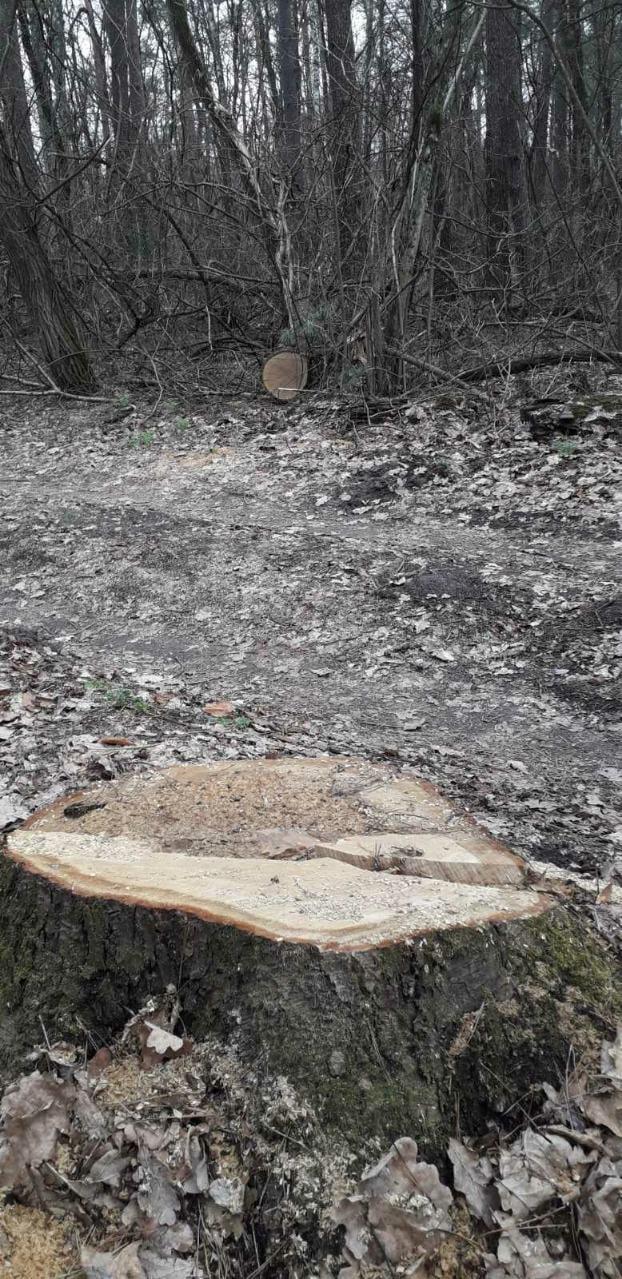 На Чернігівщині незаконно спиляли 15 дерев дуба (Фото)