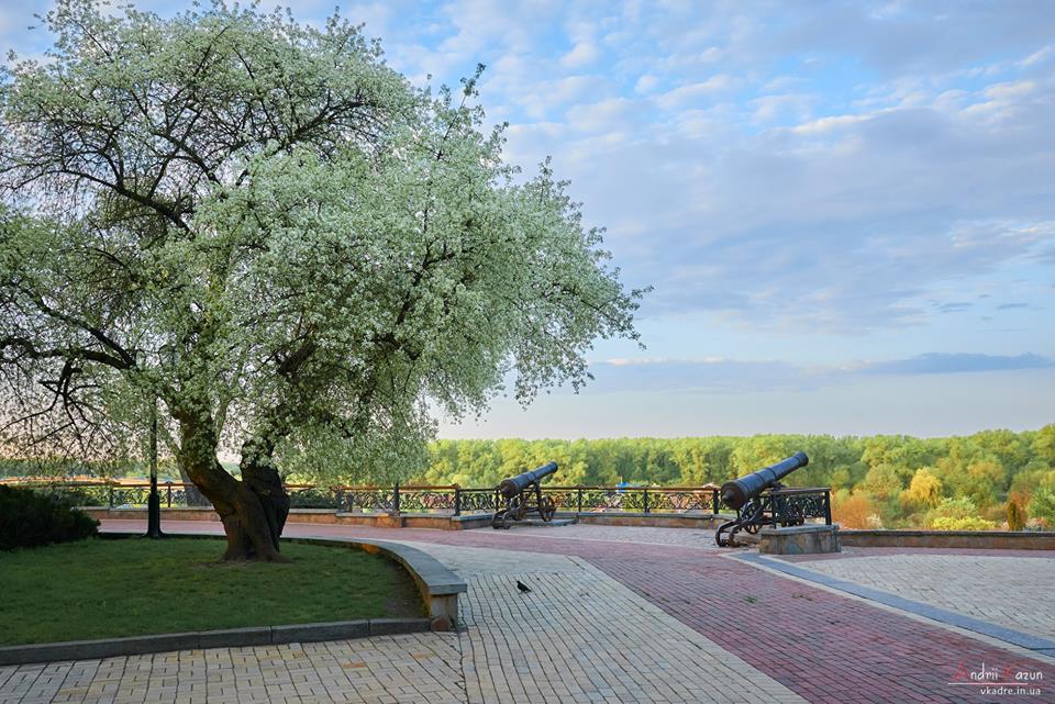 Вікова вишня-антипка вкотре порадувала чернігівців цвітом (Фотофакт)