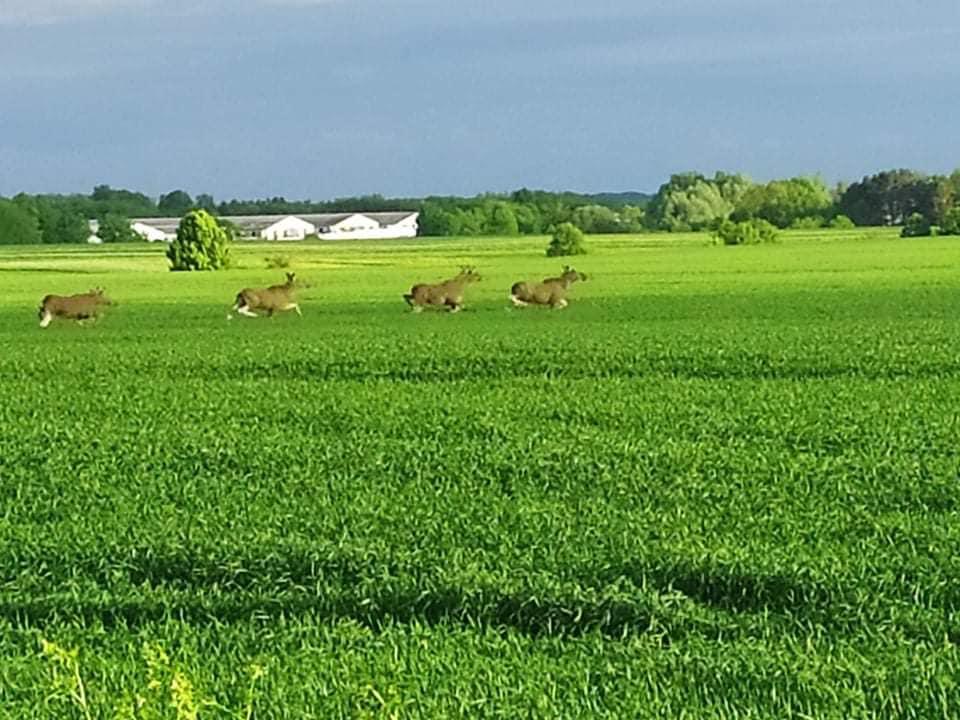 У село на Коропщині прибігали молоді лосі (Фотофакт)
