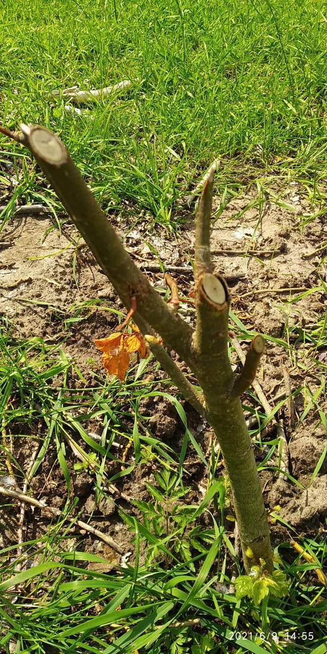 На Менщині понищили дерева, висаджені під час екоакції (Фотофакт)