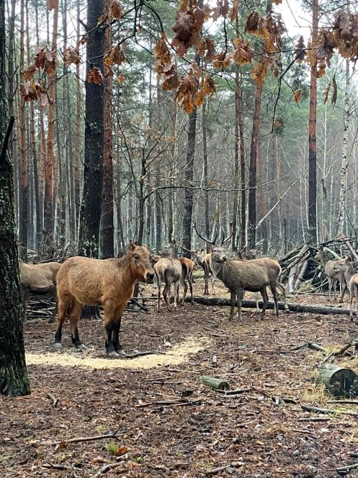 На Чернігівщині водяться дикі коні (Фото)