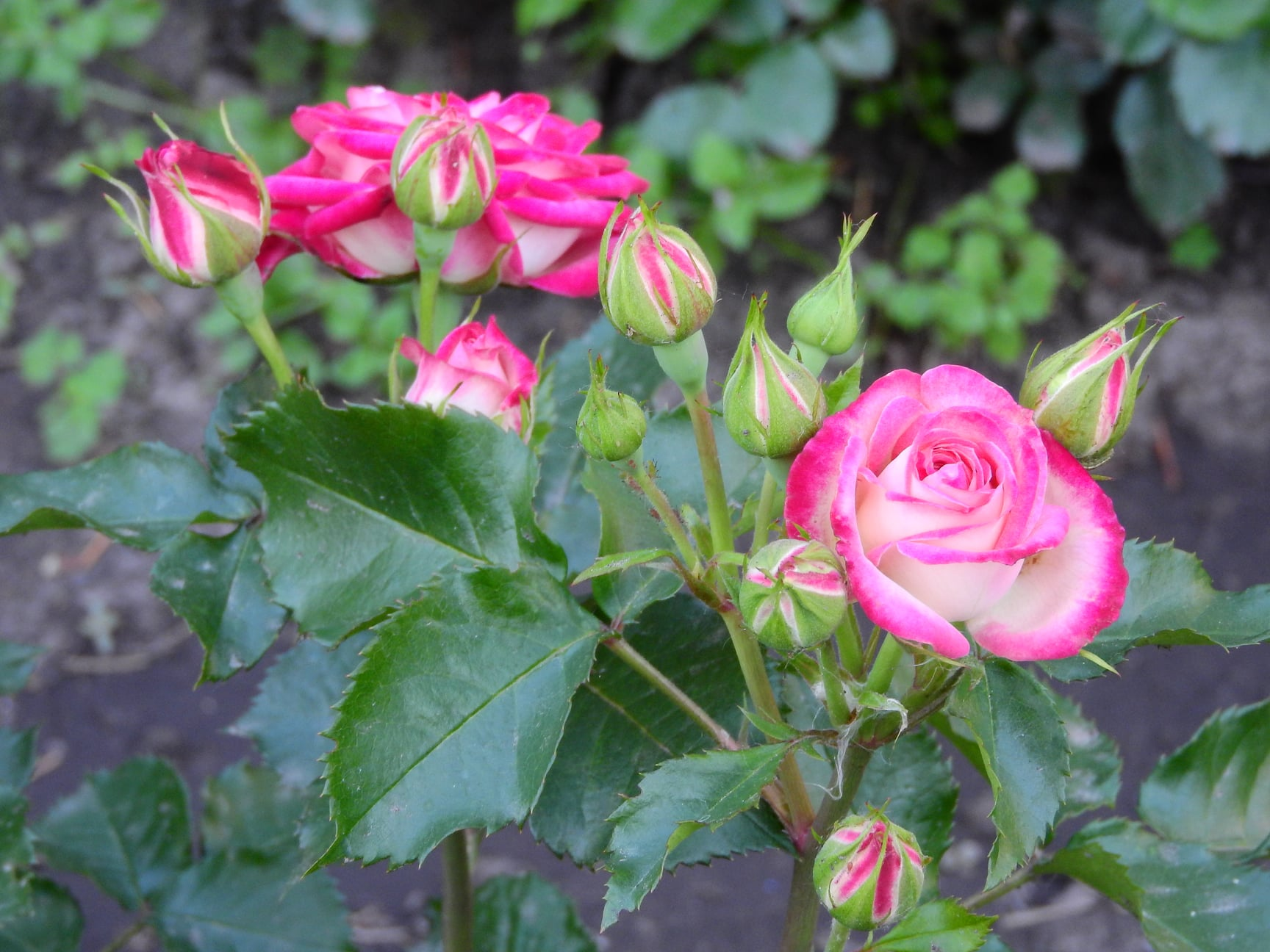 У Чернігові є трояндовий рай, де все літо квітнутимуть різнокольорові троянди (Фото)