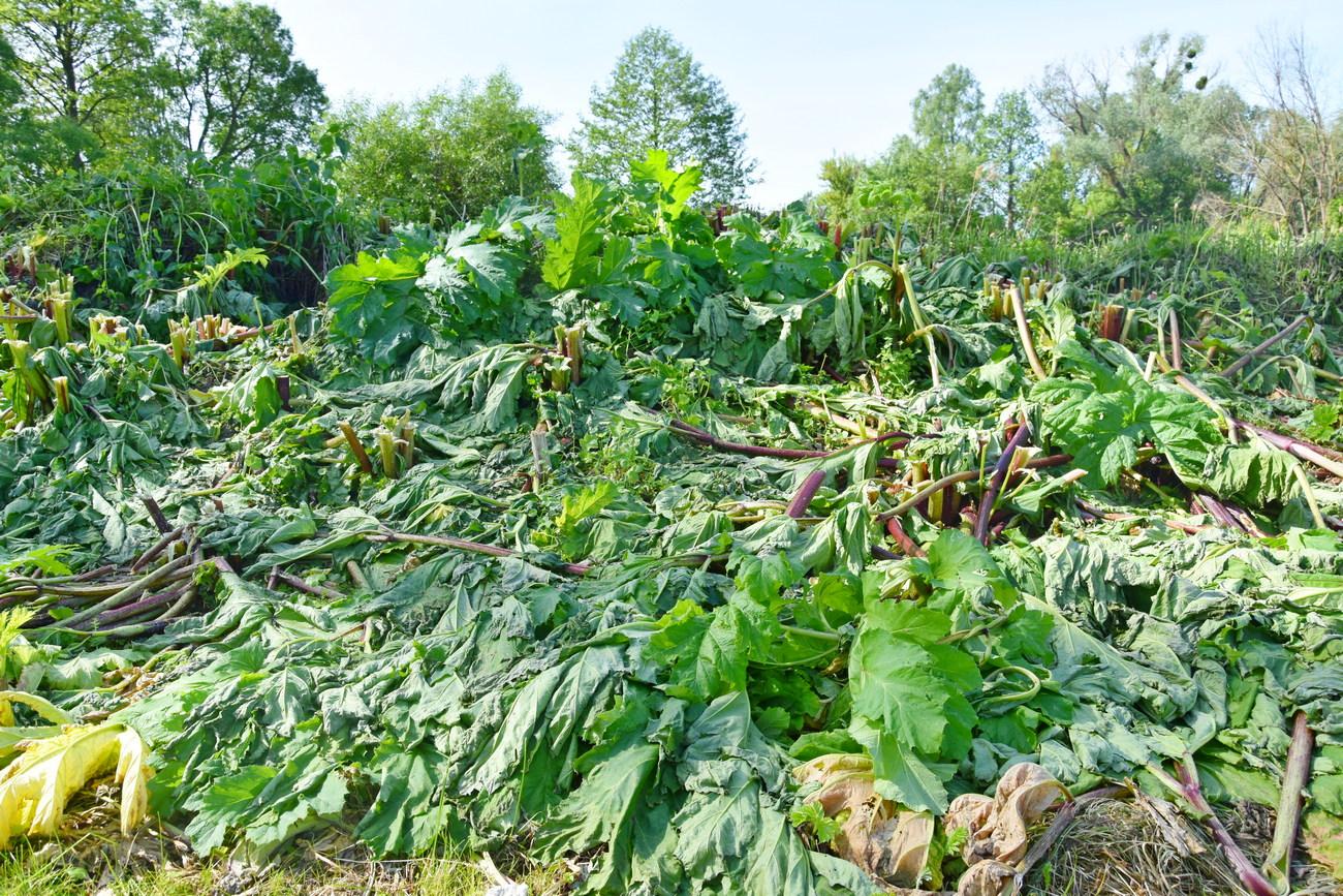 У Коропській громаді борються з небезпечною рослиною (Фото)