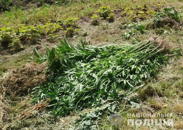 На Чернігівщині двоє чоловіків вирощували коноплю (Фото)