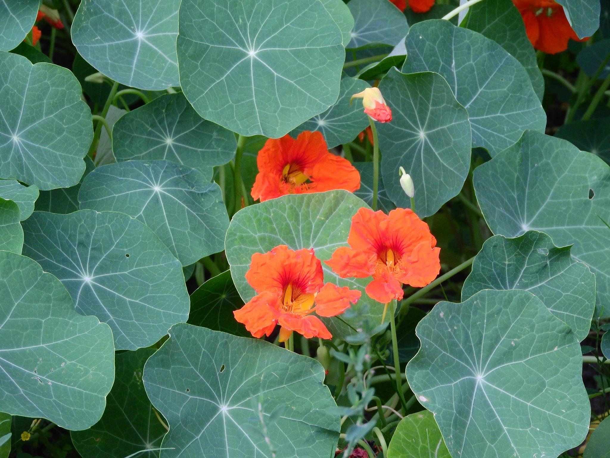 У Чернігові цвіте улюблена квітка Сонцепоклонника (Фото)