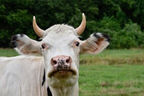 cow-4387584_960_720